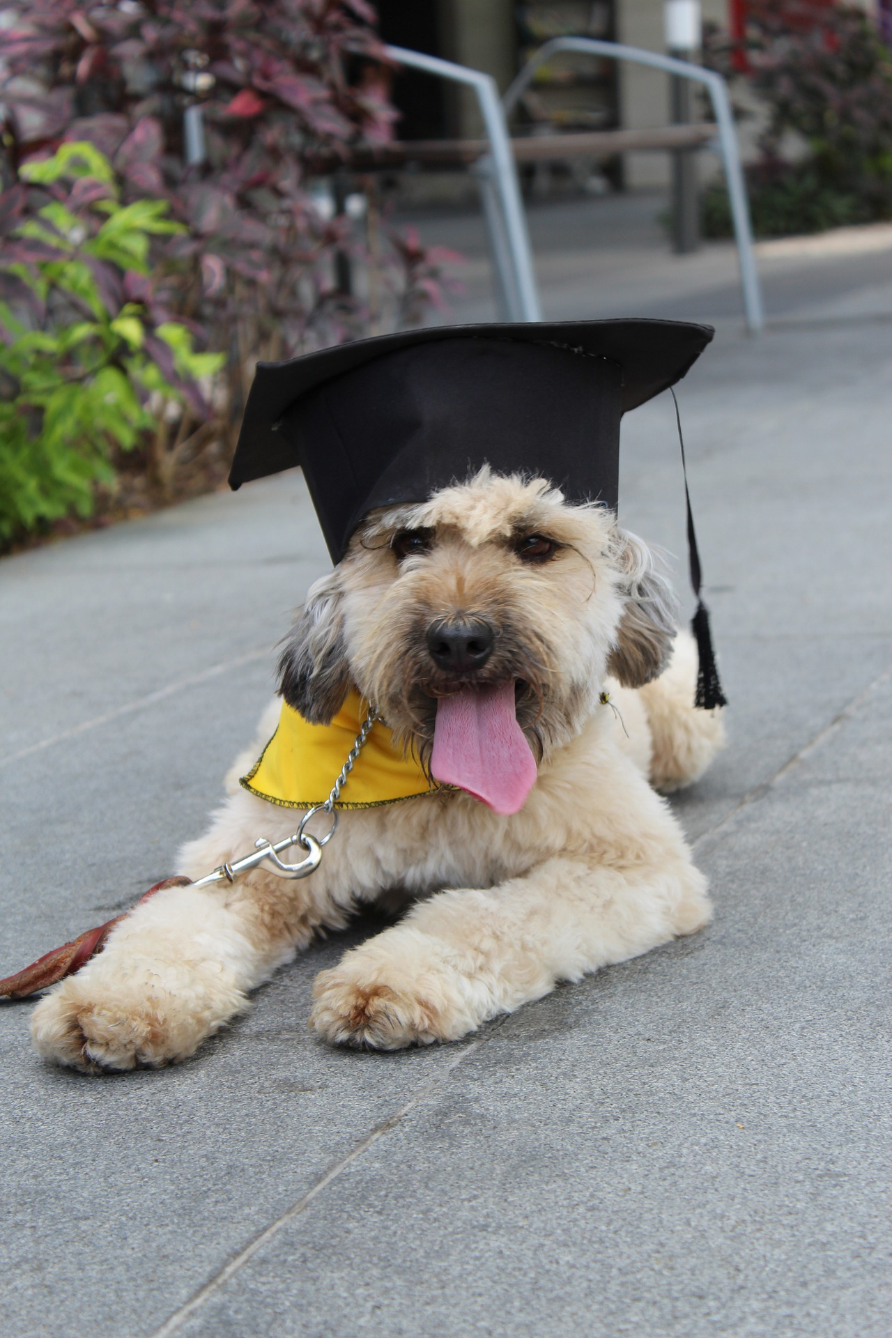 Dog wearing mortarboard